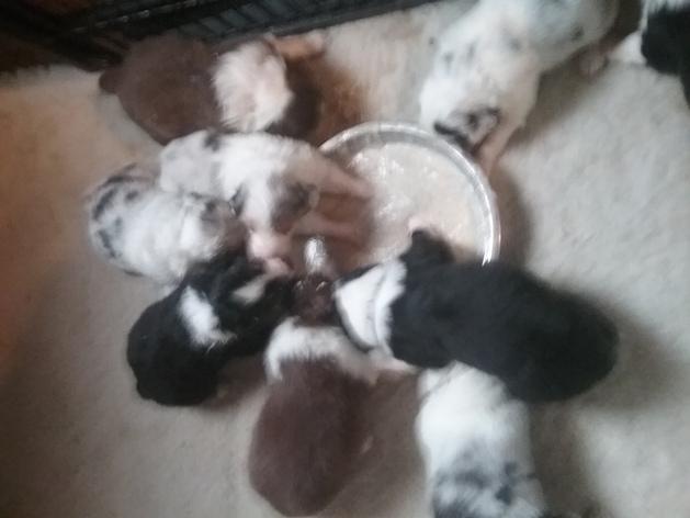 Puppies having first taste of porridge