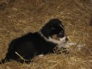 ALFIE TAKING A REST IN THE HAY