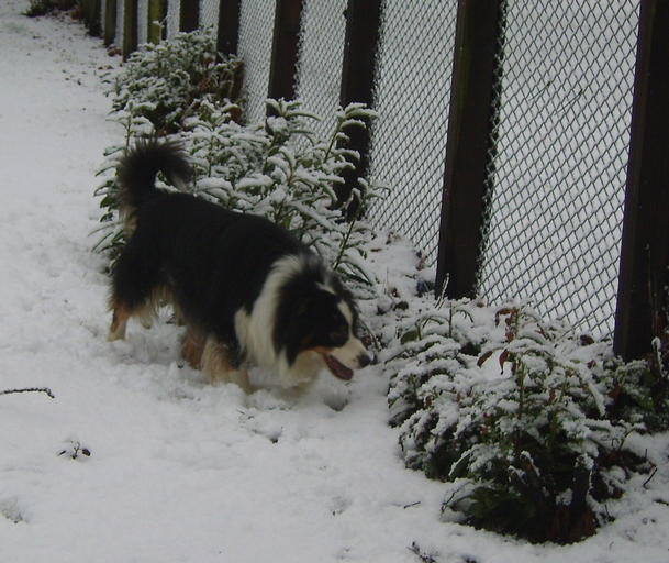 BEAR INVESTIGATING THE BUSH COVERED IN SNOW
