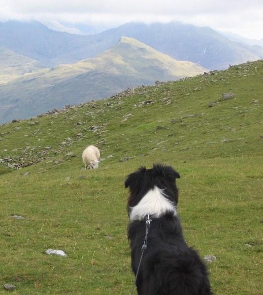 CHALI WATCHING THE SHEEP