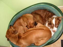 "Ozzypool Nut Meg ""Meg"" With her kennel mates."