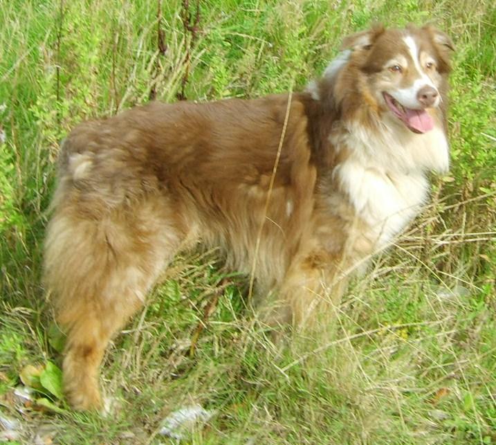 ROBIN RED TRI DOG AGED 11