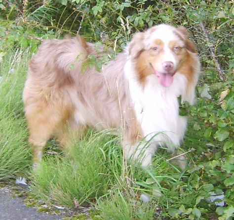 ROCKY RED MERLE DOG IN THE GRASS