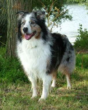 Skye Blue Merle Dog
