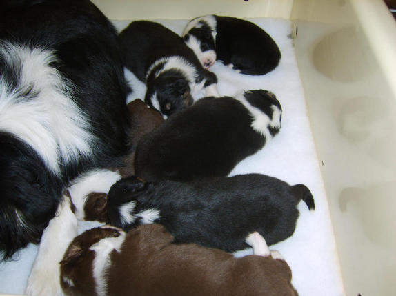 PUPPIES AT 2 WEEKS OLD