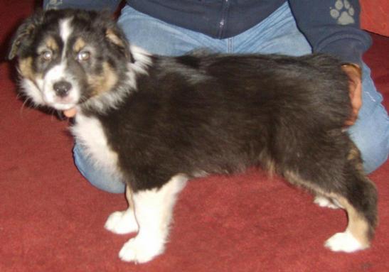 ALFIE BLACK TRI DOG STANDING