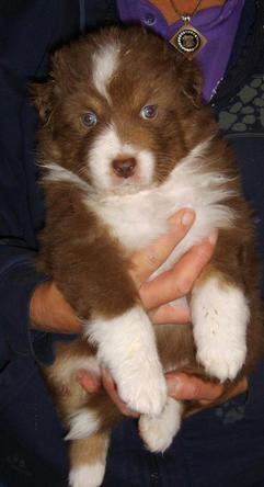 Red Tri Puppy Dog 4 Weeks old