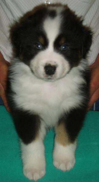 BEAR BLACK TRI DOG 1