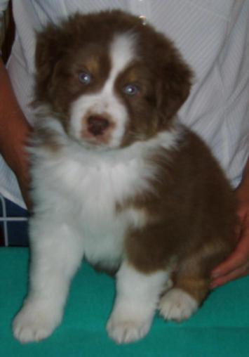 ROBBIE RED TRI DOG 1