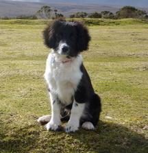 Milo the Collie x Cocker Spaniel on Dartmoor