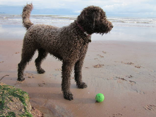 A chocolate Labradoodle gazing out to sea at Broadsands Beach