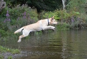 Riley the Labrador leaps into the River Dart in Totnes, after his ball