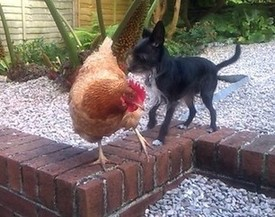 Rita and CJ, one of my chickens from the British Hen Welfare Trust, in my back garden