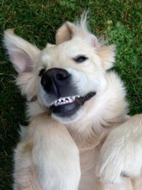 Tilly the Golden Retriever being a glorious goof ball!