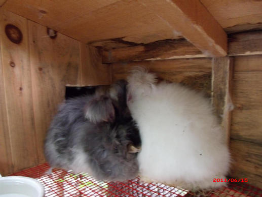 The mother doe is on the left - black otter pure Giant Angora