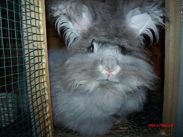 giant angora rabbits enuf fluff rabbitry