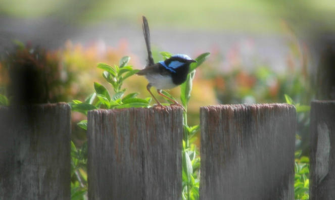 A blue fairy wren perched on fencepost for a bird's eye view on the world.