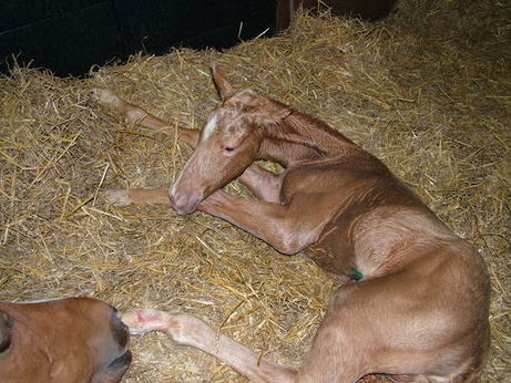 16th May 2012 Palomino colt by Electrum