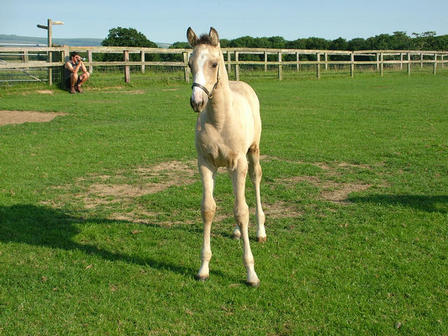 Electrum x Sheezacista buckskin filly born 9th may 2011