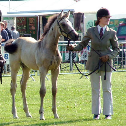 Electrum x Primitive Passion  2nd Hunter foal & 2nd Sport Horse foal Kent County 15th July 2011
