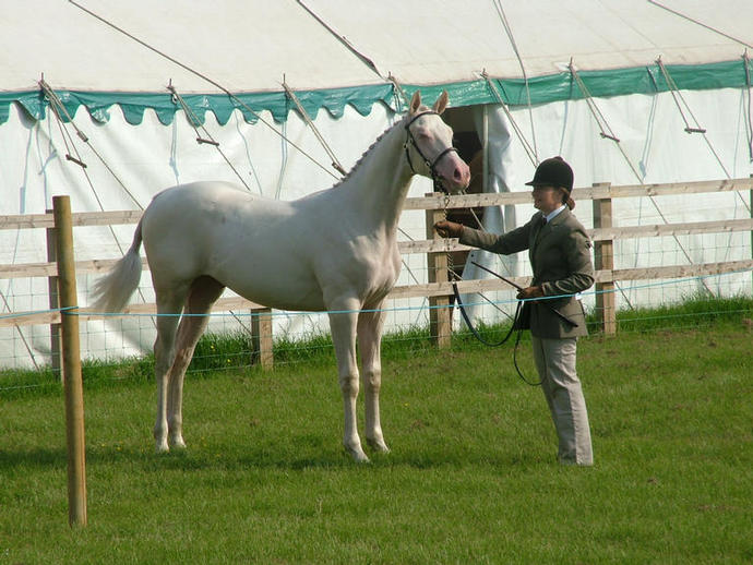 Electrum Herts County 2nd Sport Horse Yearling Class