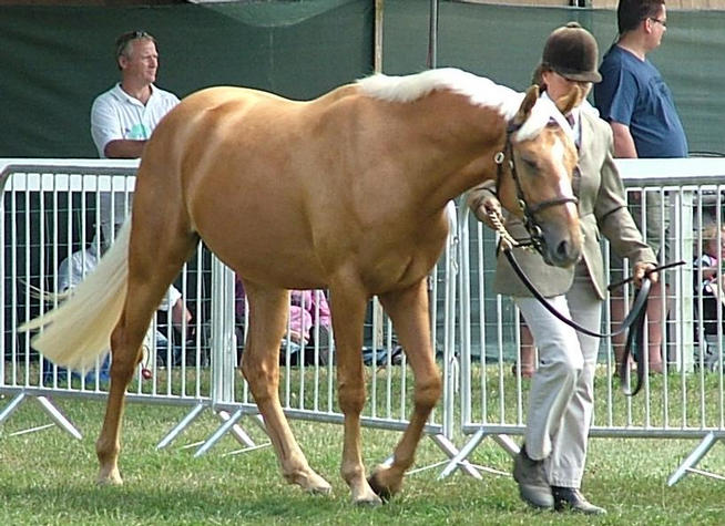 Goldie 2nd Palomino Youngstock