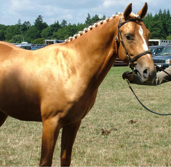 Goldie at New Forest Show, 5th Competition Pony