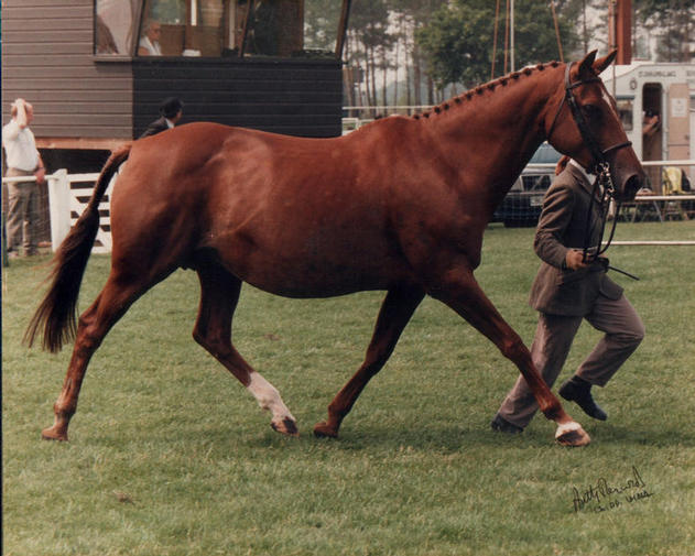 Jarva aged 16yo Hunter Broodmare class at The Royal Norfolk Show