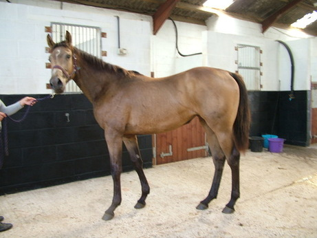 Electrum x Primitive Passion buckskin filly born 15th May 2011