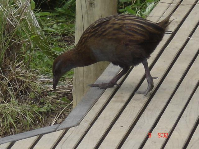birds of kawau island