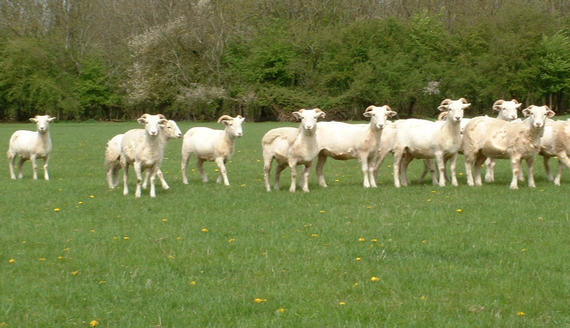 Yearling ewes in the Spring showing peeling fleeces