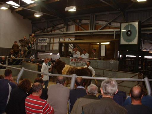 Tearaway - stock bull 3,100gns