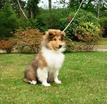In bloom puppies for sale rough collie puppies from past litters