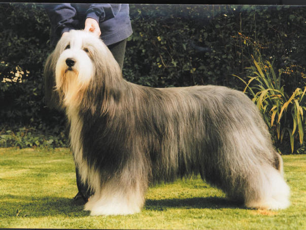 Moonhills Does it in Style Bearded Collie