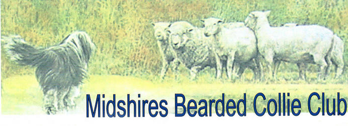 Bearded Collie and Sheep