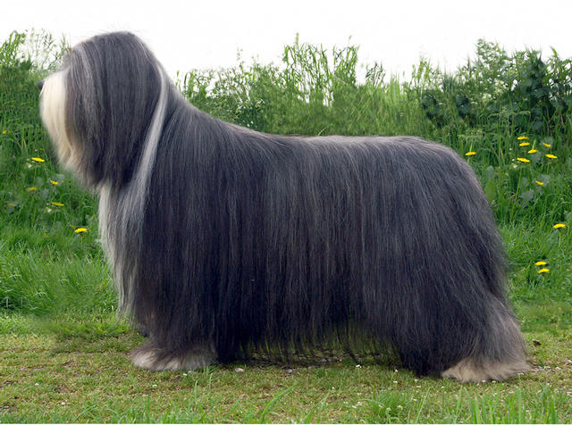 Ch Malandex Excalibur Bearded Collie