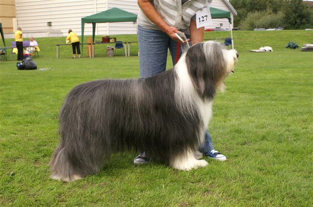 Ch Potterdale Pisces Bearded Collie