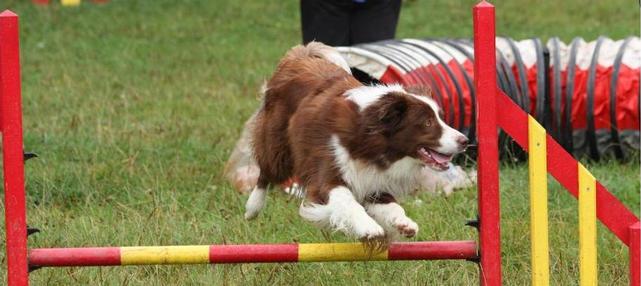 Archie enjoying his agility
