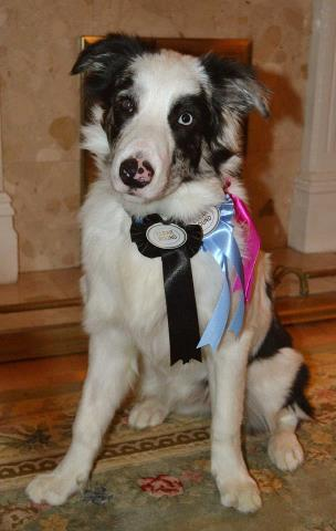 Beau with his rosettes
