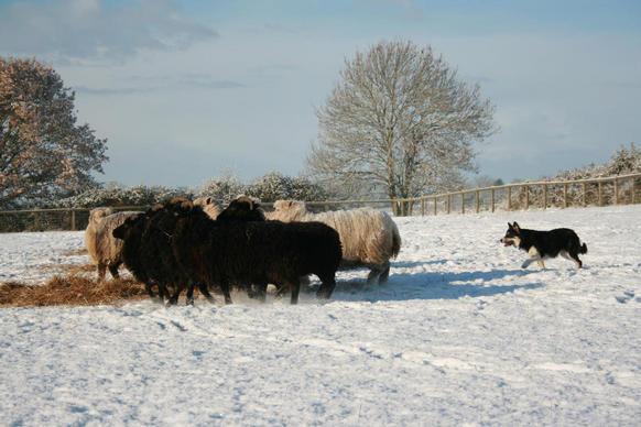 Hattie the sheepdog!