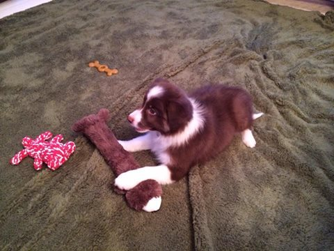 Skye - Redcharisma So Beautiful - in her new home - with matching toy!