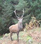 Red deer - Bainloch Deer Park