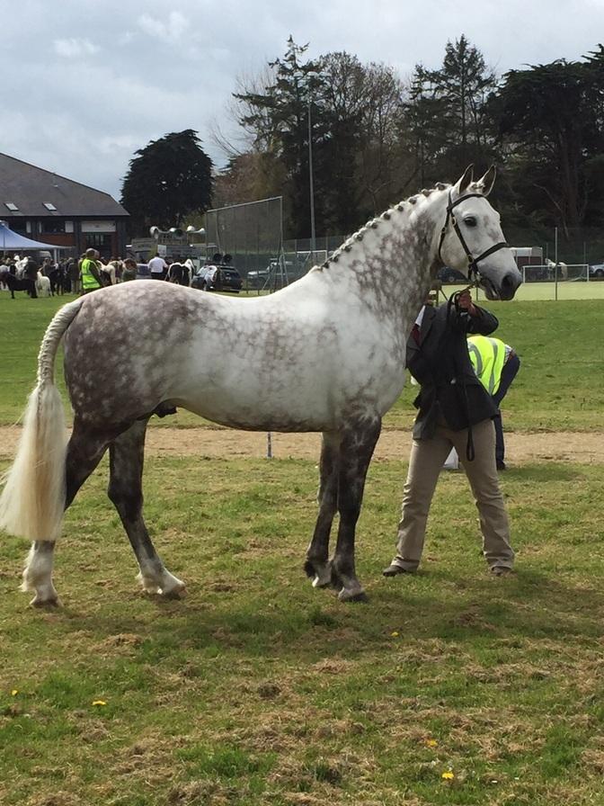 MAX -  Barley Saturday 2015  -  winning the sports horse stallion class.