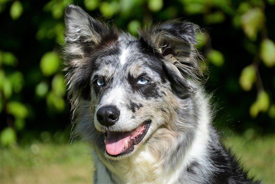 blue merle brindle point border collie