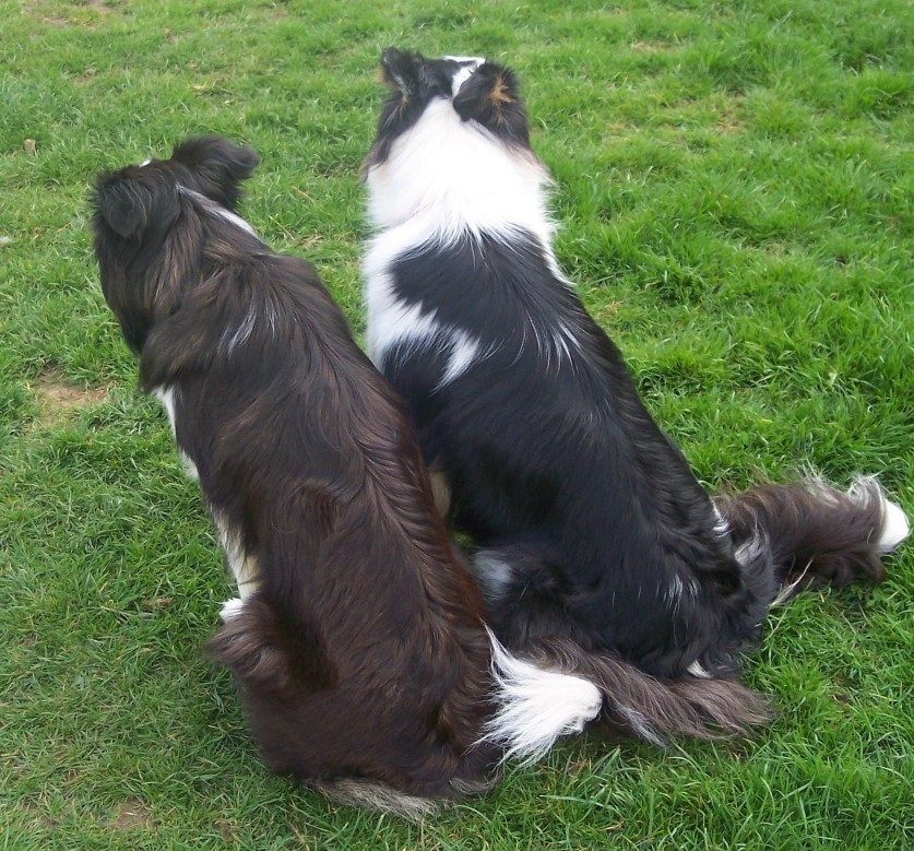 seal and black tri border collies
