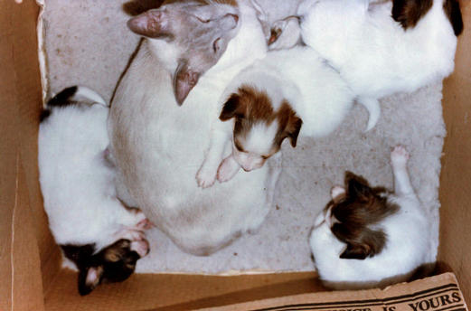This is Emma, my Lilac Point Siamese with pups