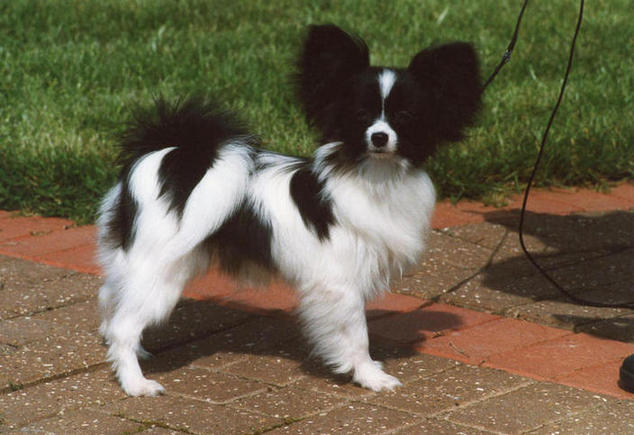 Beano as a puppy