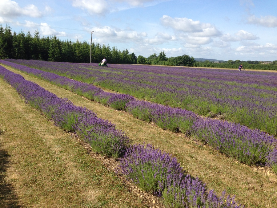 Naturallythinking Lavender Fields being harvested in the summer