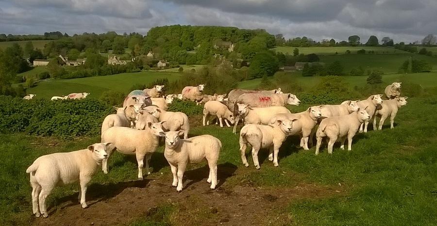 2015 lambs May