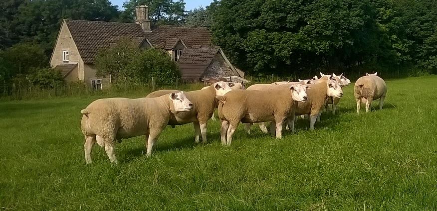 Texel Shearling Rams